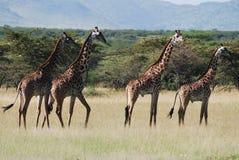 Groep Giraf stock afbeeldingen