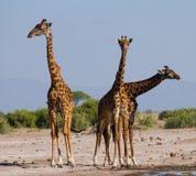 Groep giraffen bij het water geven kenia tanzania 5 maart 2009 Royalty-vrije Stock Afbeelding
