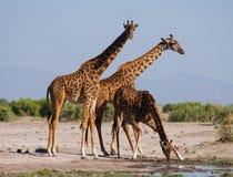Groep giraffen bij het water geven kenia tanzania 5 maart 2009 Stock Fotografie