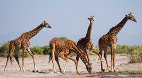 Groep giraffen bij het water geven kenia tanzania 5 maart 2009 Royalty-vrije Stock Foto