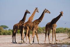 Groep giraffen bij het water geven kenia tanzania 5 maart 2009 Stock Afbeelding