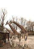 Groep giraffen in de dierentuin Stock Afbeeldingen