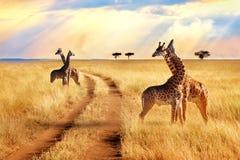 Groep giraffen dichtbij de weg in het Nationale Park van Serengeti De achtergrond van de zonsondergang stock foto