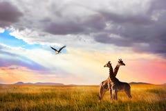 Groep giraffen en Maraboeooievaar in het Nationale Park van Serengeti De achtergrond van de zonsondergang Stock Afbeeldingen