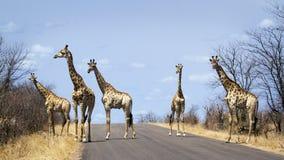 groep Giraffen in het Nationale park van Kruger, in de weg, Zuid-Afrika Royalty-vrije Stock Foto's