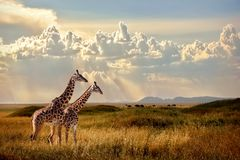 Groep giraffen in het Nationale Park van Serengeti De achtergrond van de zonsondergang Hemel met stralen van licht in de Afrikaan Royalty-vrije Stock Foto's