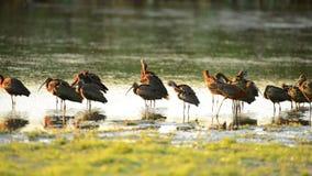 Groep glanzende falcinellus van ibisplegadis in mooi avondlicht stock footage