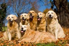 Groep Gouden Retrievers op gebied van de bladeren van de Daling Stock Foto