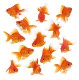 Groep goudvis stock foto