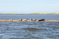 Groep grijs en havenverbindingen die op een zandbank in duin-du-Sud rusten stock afbeelding