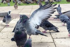 Groep grijze duiven in een stadspark stock foto's