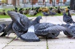 Groep grijze duiven in een stadspark stock fotografie