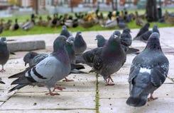 Groep grijze duiven in een stadspark royalty-vrije stock foto