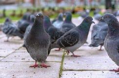 Groep grijze duiven in een stadspark stock afbeelding