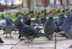 Groep grijze duiven in een stadspark royalty-vrije stock afbeeldingen
