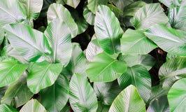 Groep grote groene bladerenstruik in de plantkundetuin Stock Afbeelding