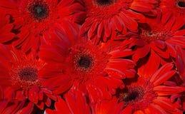 Groep grote rode gerberas Backgrond Royalty-vrije Stock Fotografie