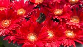 Groep grote rode gerberas met vlinder Royalty-vrije Stock Fotografie