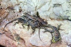 Groep hagedissen op de rots Zonnebadende dieren stock afbeeldingen