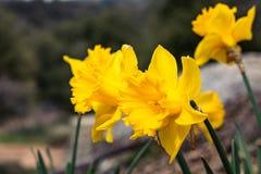 groep heldere, gelukkige, vrolijke, gele gouden de gele narcisbollen die van de lentepasen in buitentuin in de lente bloeien stock afbeelding
