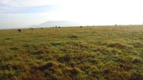 Groep herbivore dieren in savanne in Afrika stock video