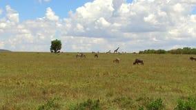 Groep herbivore dieren in savanne in Afrika stock footage
