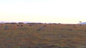 Groep herbivore dieren in savanne in Afrika stock videobeelden