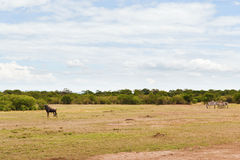 Groep herbivore dieren in savanne in Afrika royalty-vrije stock foto