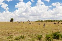 Groep herbivore dieren in savanne in Afrika stock foto's