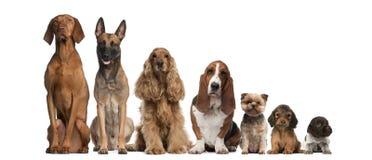 Groep het bruine honden zitten Stock Foto's