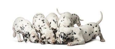 Groep het Dalmatische puppy eten Royalty-vrije Stock Foto's