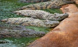 Groep het grote krokodillen rusten stock foto