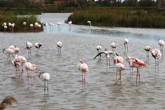 Groep het rusten flamingo's, Camargue, Frankrijk Stock Afbeeldingen