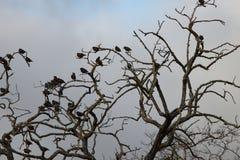 Groep het starling van vogels op een boom worden neergestreken die Royalty-vrije Stock Afbeelding
