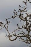 Groep het starling van vogels op een boom worden neergestreken die Royalty-vrije Stock Foto