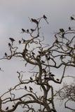 Groep het starling van vogels op een boom worden neergestreken die Royalty-vrije Stock Fotografie