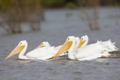 Groep het waden van witte pelikanen Stock Foto