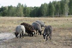 Groep het weiden van schapen Stock Afbeelding