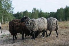 Groep het weiden van schapen Stock Foto's
