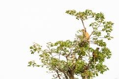 Groep het wilde de apen van Campbell ` s Mona zitten in boombovenkant geïsoleerd tegen wit, Senegal, Afrika stock foto
