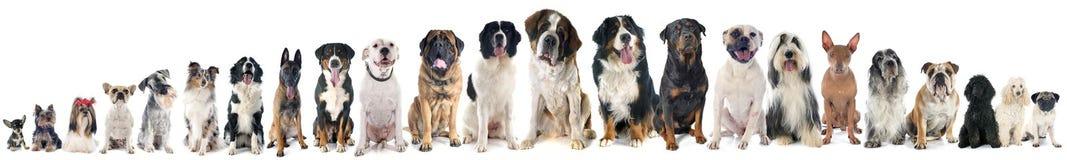 Groep honden Stock Afbeelding