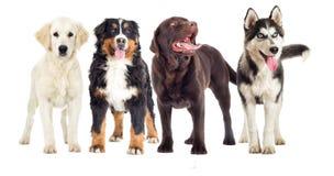 Groep honden Stock Afbeeldingen