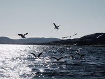 Groep hongerige zeemeeuwen die en voor dode vissen duiken vechten Stock Afbeelding