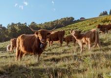 Groep hooglandkoe in prairie het letten op aan de camera stock foto