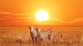 Groep jachtluipaarden bij mooie oranje zonsondergang in het Nationale Park van Serengeti tanzania Wilde aard van Afrika Artistiek royalty-vrije stock afbeeldingen