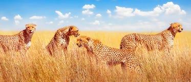 Groep jachtluipaarden in de Afrikaanse savanne Afrika, Tanzania, het Nationale Park van Serengeti Bannerontwerp royalty-vrije stock fotografie