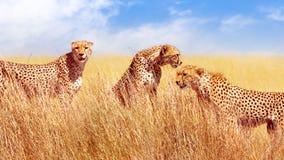 Groep jachtluipaarden in de Afrikaanse savanne Afrika, Tanzania, het Nationale Park van Serengeti Het wilde leven van Afrika stock afbeelding