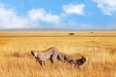 Groep jachtluipaarden in de Afrikaanse savanne Tanzania, het Nationale Park van Serengeti Het wilde leven van Afrika royalty-vrije stock afbeeldingen