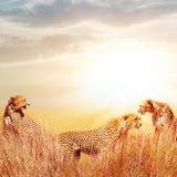Groep jachtluipaarden in de Afrikaanse savanne Tegen mooie hemel Tanzania, het Nationale Park van Serengeti Het wilde leven van A royalty-vrije stock foto's