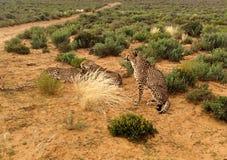 Groep jachtluipaarden in savanne stock afbeelding